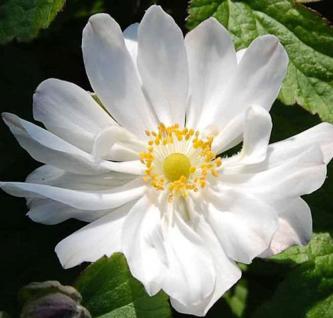 Herbstanemone Andrea Atkinson - Anemone japonica - Vorschau