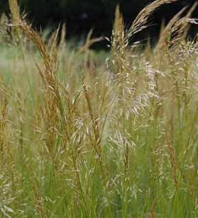 Silberährengras Allgäu - Achnatherum calamagrostis - Vorschau