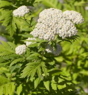 Großblättrige Wucherblume - Tanacetum macrophyllum - Vorschau