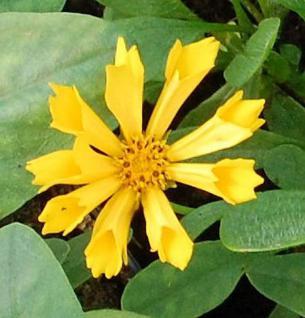 Mädchenauge Jethro Tull - Coreopsis grandiflora - Vorschau