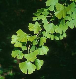 Fächerblattbaum Blagon 100-125cm - Ginkgo biloba - Vorschau