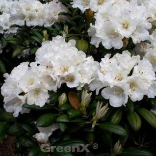 Rhododendron Pirsichcocktail 30-40cm - Alpenrose - Vorschau