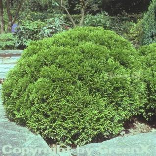 Kugel Lebensbaum Danica 15-20cm - Thuja occidentalis - Vorschau