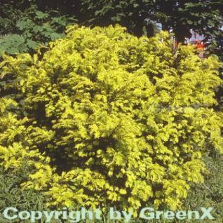 Goldgelbe Eibe Summergold 80-100cm - Taxus baccata - Vorschau