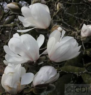 Sternmagnolie Merrill 100-125cm - Magnolia loebneri - Vorschau