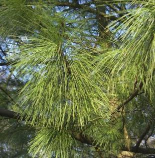 Kleine Tränenkiefer Densa Hill 100-125cm - Pinus wallichiana - Vorschau