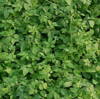 Jiaogulan - Teepflanze - großer Topf - Gynostemma - Vorschau