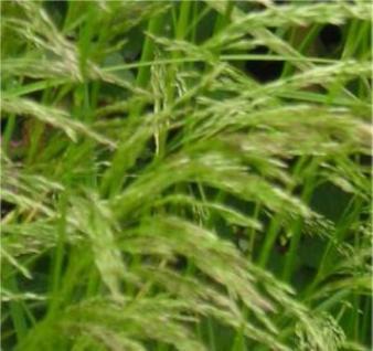 Waldschmiele Tardiflora - Deschampsia - Vorschau