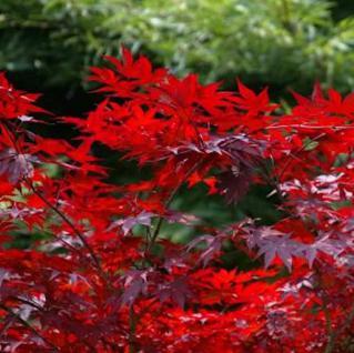 Kleinblättriger Zwergahorn Hime Shojo 40-60cm - Acer palmatum - Vorschau