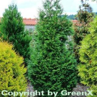 Riesen Lebensbaum Gelderland 100-125cm - Thuja plicata - Vorschau