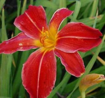 Taglilie Stars and Stripes - Hemerocallis - Vorschau
