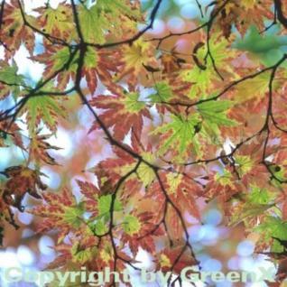 Siebolds Ahorn 80-100cm - Acer sieboldianum - Vorschau