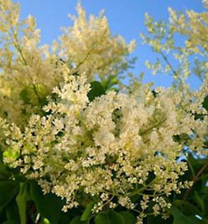 Japanischer Flieder City of Toronto 60-80cm - Syringa reticulata - Vorschau
