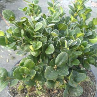 Buchsbaum Rotundifolia 25-30cm - Buxus sempervirens - Vorschau