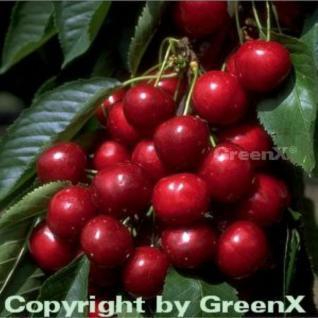 Selbstfruchtende Süßkirsche Sunburst 60-80cm - dunkelrote süße Früchte - Vorschau