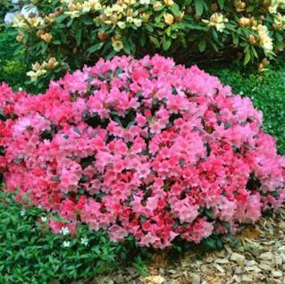 Rhododendron Colibri 30-40cm - Alpenrose - Vorschau