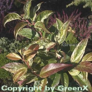 Buntblättrige Traubenheide Rainbow 20-25cm - Leucothoe walteri - Vorschau