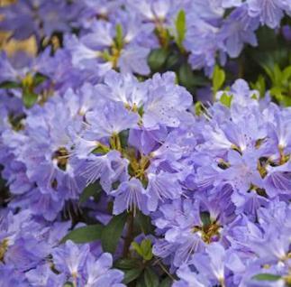 Wild - Rhododendron Russautinii 50-60cm - Rhododendron augustinii - Vorschau