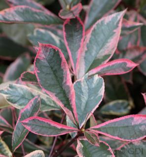 Glanzmispeln Pink Marble 125-150cm - Photinia fraseri - Vorschau