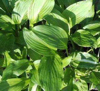 Schmalblattfunkie Erromena - Hosta undulata - Vorschau