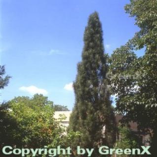 Schwarzkiefer Green Tower 40-50cm - Pinus nigra - Vorschau