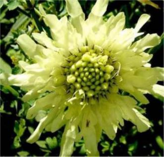 Gelbe Riesenskabiose - Cephalaria gigantea - Vorschau