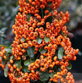 Feuerdorn Saphyr Orange 60-80cm - Pyracantha - Vorschau