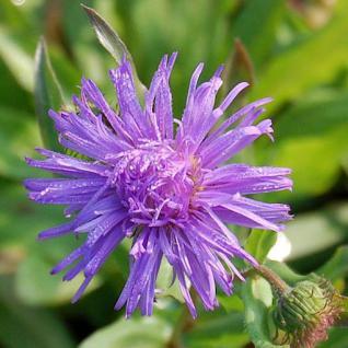 Feinstrahlaster Azur Beauty - Erigeron speciosus - Vorschau