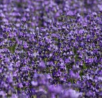 Echter Lavendel Silver Carpet - Lavandula angustifolia - Vorschau