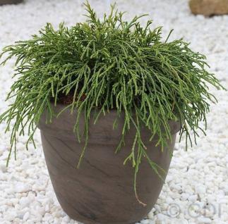 Grüne Fadenzypresse 20-25cm - Chamaecyparis pisifera - Vorschau