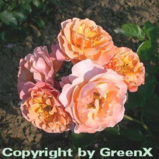 Floribundarose Marie Curie® 30-60cm - Vorschau