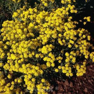Steinkraut Compactum - Alyssum saxatile - Vorschau