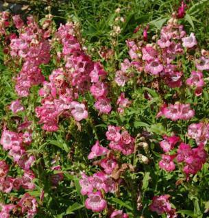 Bartfaden Hidcote Pink - Penstemon cultorum - Vorschau