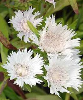 Kornblumenaster Träumerei - Stokesia laevis - Vorschau