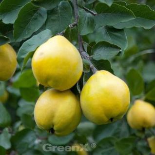 Apfel Quitte Cydopom 60-80cm - Cydonia oblonga - Vorschau