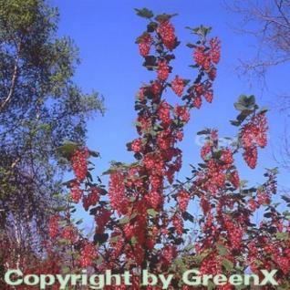 Blut Johannisbeere Pulborough Scarlet 60-80cm - Ribes sanguineum - Vorschau