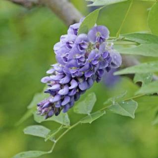 Amerikanischer Blauregen Rosea Longwood Purple 60-80cm - Wisteria frutescens - Vorschau