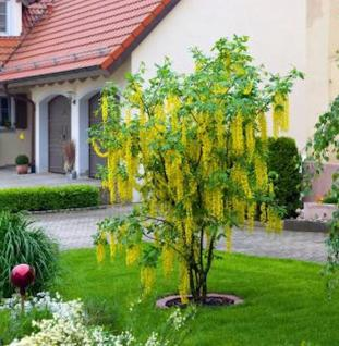 Edel Goldregen 80-100cm - Laburnum watereri Vossii - Vorschau