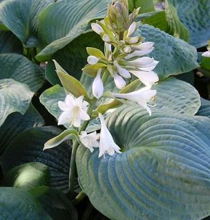 Grünblattfunkie Bressingham Blue - Hosta sieboldiana - Vorschau