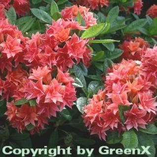 Belgische Azalee Norma 30-40cm - Rhododendron rustica - Vorschau