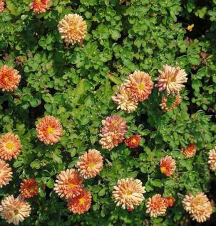 Winteraster Bronzeteppich - Chrysanthemum Indicum - Vorschau