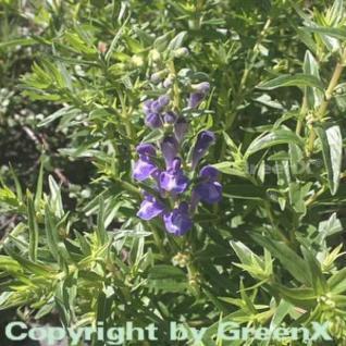 Baikal Helmkraut - Scutellaria baicalensis - Vorschau