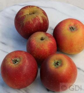 Apfelbaum Roter Münsterländer 60-80cm - ein Lagerapfel - Vorschau