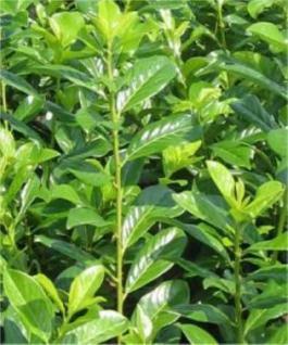 Kirschlorbeer Novita 40-60cm - Prunus laurocerasus - Vorschau