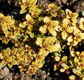 Echter Zitronen Thymian Archer´s Gold - Thymus citriodorus - Vorschau