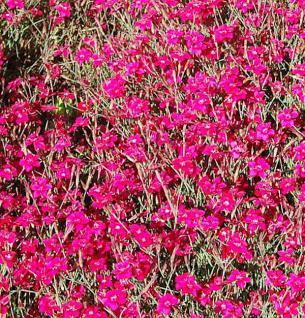 Heidennelke Brilliant - Dianthus deltoides - Vorschau