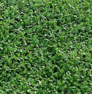 Fiederpolster - Leptinella dioica - Vorschau