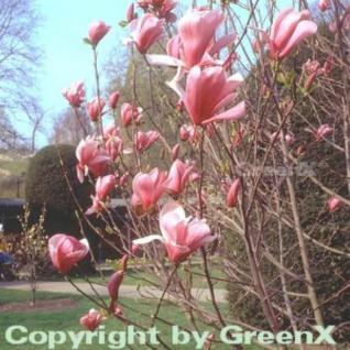 Magnolie Galaxy 125-150cm - Magnolia - Vorschau