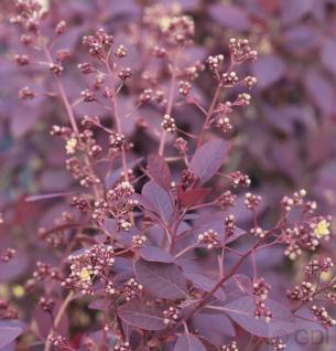 Perückenstrauch Royal Purple 40-60cm - Cotinus coggygria - Vorschau