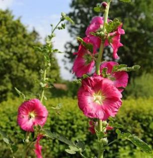 Rote Stockrose - Alcea rosea - Vorschau